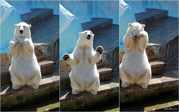 """-Эй! - Стой...Ну прекрати!"""" - Ты меня смущаешь!   медведь, белый медведь, новосибирск, новосибирский зоопарк"""