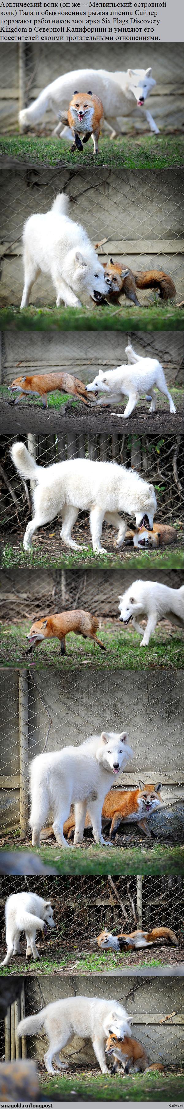 Даже два конкурирующих вида дружат…а мы люди грыземся. Имя лисицы порадовало :)) лиса, дружба, Милости, длиннопост